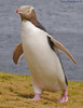 Yellow-eyed Penguin DSC_0586 by Mary Bomford