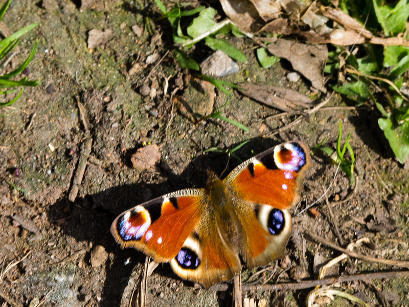 Peacock butterfly on the ground