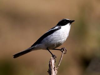Little Pied Flycatcher-Male (Ficedula westermanni) | by vlupadya