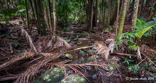 trees panorama water creek forest palms rainforest rocks stream australia qld queensland sunshinecoast mapleton 2016 hinterland seqld piccabeen