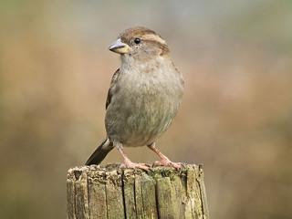 DSCF4879 House sparrow (female) | by Steve_Herring