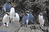 Snares Crested Penguin (Eudyptes robustus) DSC_0853 by Mary Bomford