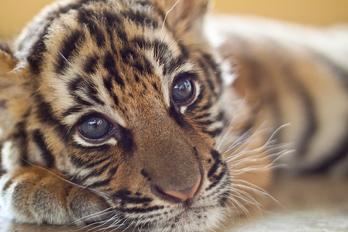 Tiger Cub | by Will Moyer