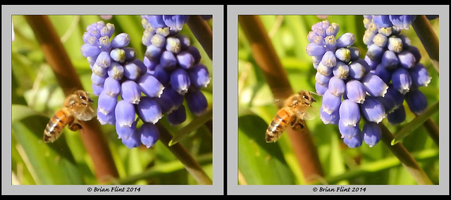 Bee and Grape Hyacinth flower - 3d crossview