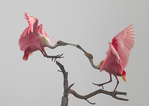 roseate spoonbill courtship dance | by USFWS Headquarters