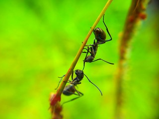 Black Ants Fighting taken using Samsung Galaxy S2 Camera + Macro Lens | by Pison Jaujip