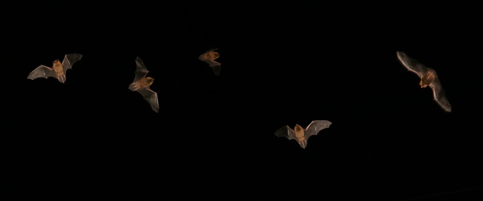 bats in scottish night sky