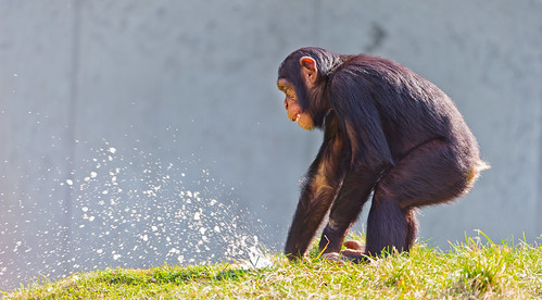 Young chimp playing with the water | by Tambako the Jaguar