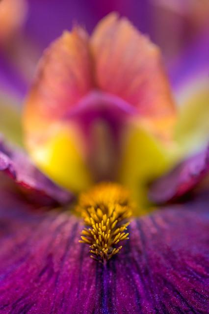 Iris in Wonderland
