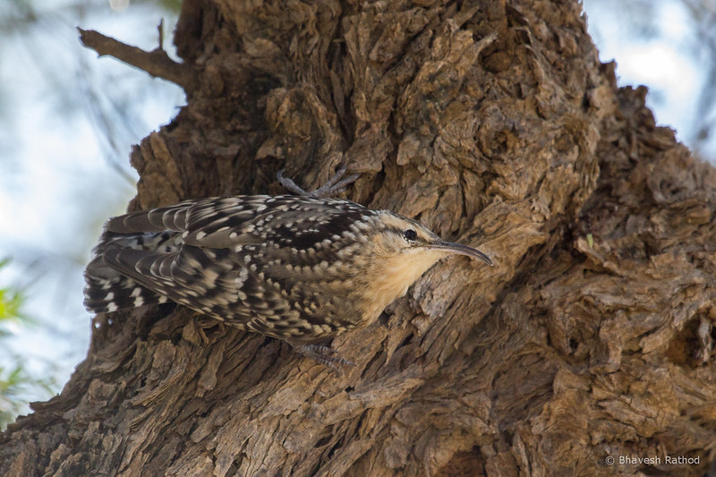 Indian Spotted Treecreeper