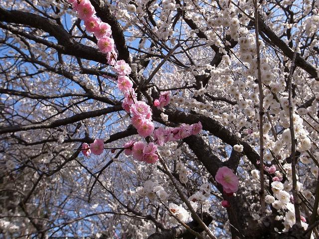 <p>白い花の中のピンクさん</p>