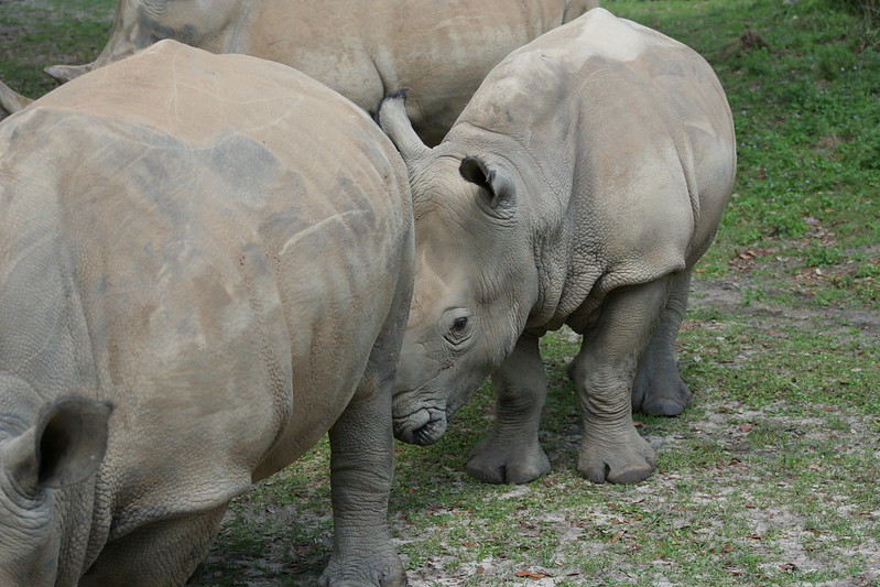 Baby Rhino on Kilimanjaro Safari - Animal Kingdom - Walt Disney World