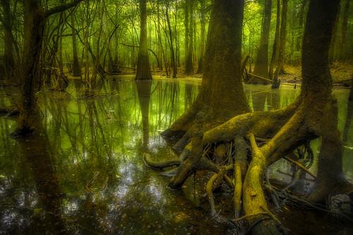 county green reflections river georgia moss roots bryan swamp cypress knees blackwater hdr coastalplain baldcypress ogeechee ogeecheetupelo