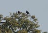Red-headed Vulture-Sarcogyps calvus by sail121j