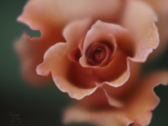 Chocolate Rose For you !