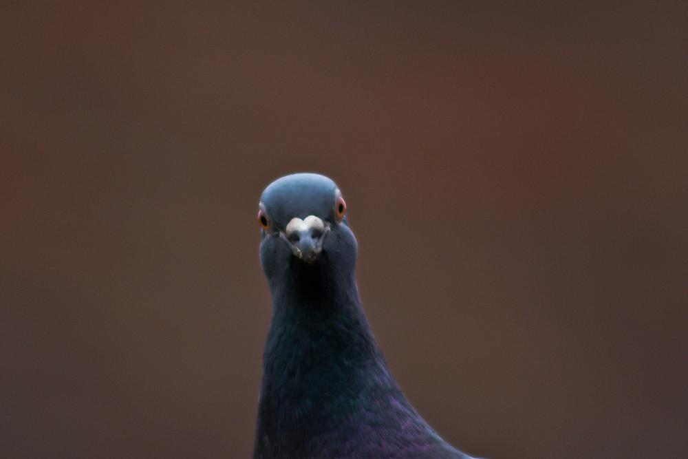 stupid pigeon keith flickr. Black Bedroom Furniture Sets. Home Design Ideas