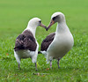 Nesting Laysan Albatross Couple by philhaber