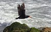 Variable oystercatcher Haematopus unicolor by Maureen Pierre