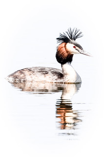 Great Crested Grebe   by callocx
