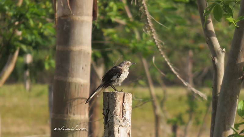 Nothern Mockingbird (Mimus polyglottos) in St.Ann's Bay