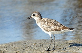 Black-bellied Plover, winter | by birding4ever