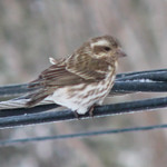 Purple Finch (C. p. purpureus)