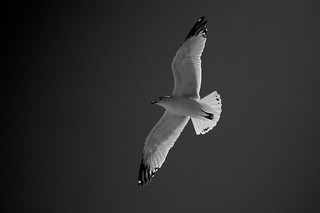 HIghlighted Gull | by michaelwm25