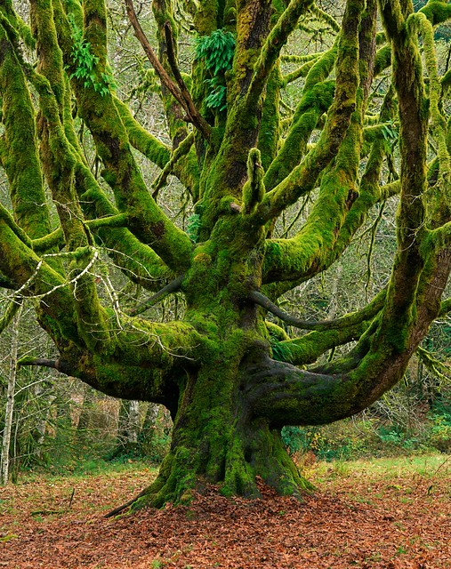 Giant Bigleaf Maple Covered with Moss in Olympic National Park