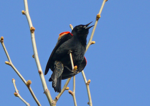 Red-winged Blackbird(Agelaius phoeniceus) singing | by Larry Meade
