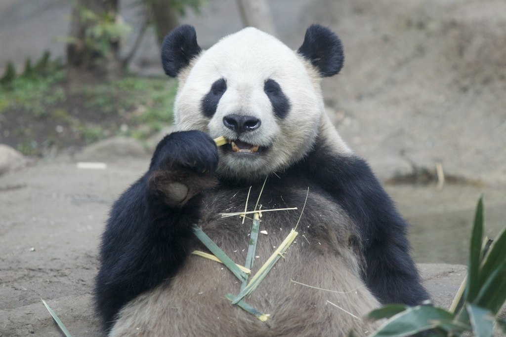 Panda at Ueno Zoo, Tokyo. (Li Li)