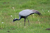 Demoiselle Crane (Anthropoides virgo) by Sergey Pisarevskiy