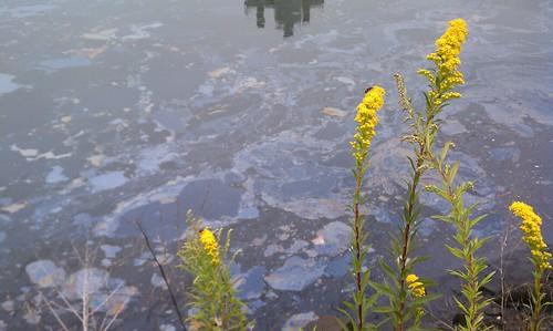 2011_September_25_Yellow_Aster_Goldenrod_w_Gowanus_Canal_Coal_Tar_Oil_at_2nd_Ave_Sean_Hanley | by Proteus Gowanus