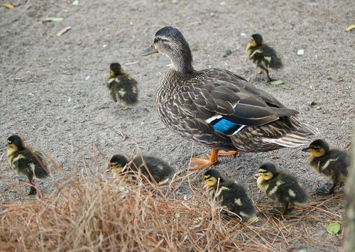 Momma and her ducklings