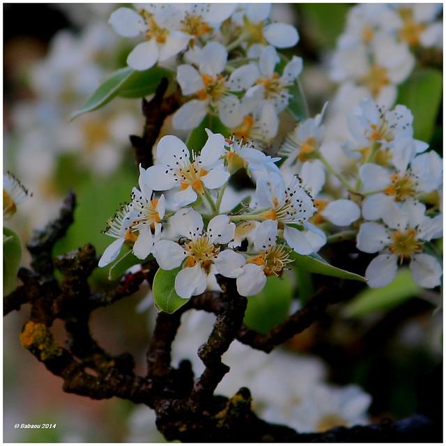 Frühlingsfarben #4 -   Birnenbluete