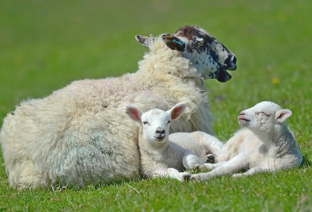 Lambs n Mum