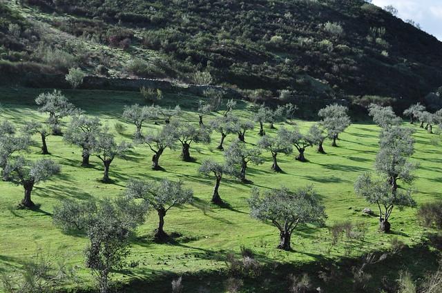 Oliveraie, Cañaveral, entre Caceres et Plasencia, province de Caceres, Estrémadure, Espagne.