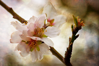 Blossoms | by Theophilos