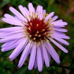 Aster tataricus * シオン (植物) * flor estrella