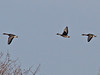 Taiga Bean Geese, Buckenham (Norfolk), 2-Jan-12 by Dave Appleton