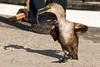 Dancing Young Cape Cormorant by Grieks