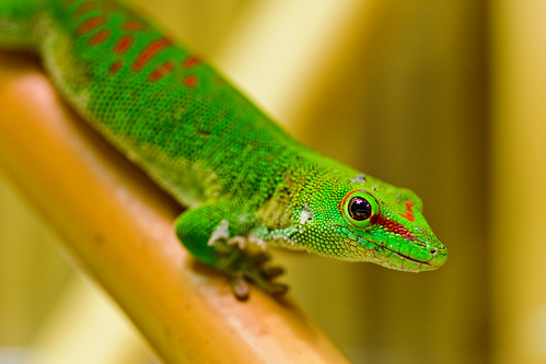 Green gecko on the bamboo | by Tambako the Jaguar