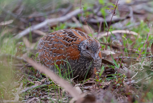 painted buttonquail (Turnix varius)-8016 | by rawshorty