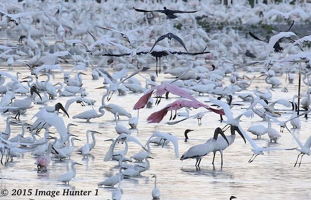 Wood Storks, Great Egrets, Snowy Egrets, Neotripical Cormorants, Little Blue Herons, Roseate Spoonbills, Tri-colored Herons, Great Blue Herons...and many more - Sherburne WMA, Louisiana