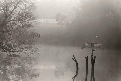 morning blackandwhite bw fog sepia landscape dawn spring earlymorning daybreak australasiandarters nikond750