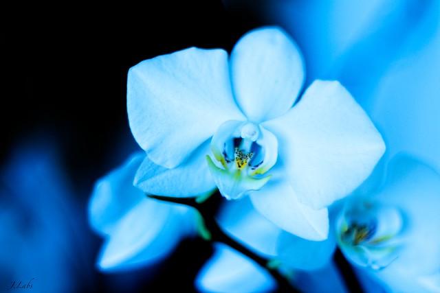 blue Orchidée