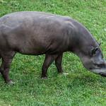 Tapir!