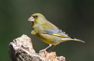 Verdilhão | Carduelis chloris | European greenfinch | by Ruiworld