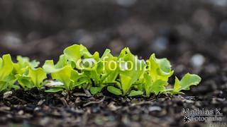 Junger Salat | Projekt 365 | Tag 121