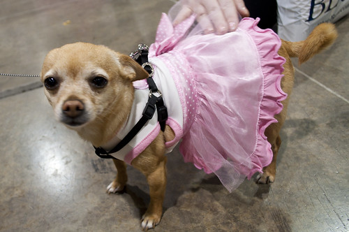 Chihuahua in a Dress | by ShardsOfBlue
