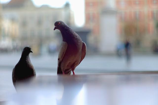 pigeons curious